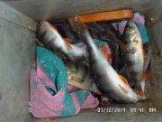 сырая манка для рыбалки