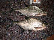 клев рыбы в перевальске