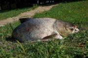 b ловля толстолоба /b b Ловля /b рыбы - Вся.